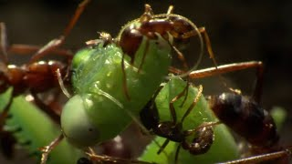 EUROPESE OMROEP | OPENN  | Praying Mantis Decapitated by Ant Swarm | Superswarm | BBC Earth