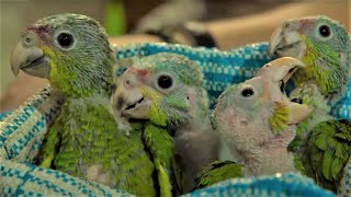 EUROPESE OMROEP OPENN Baby Parrots Rescued From Smuggle