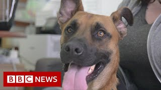 EUROPESE OMROEP | OPENN  | US dog shelters struggle with returns after pandemic adoption boom - BBC News