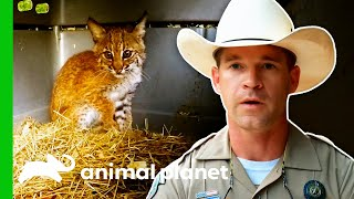 EUROPESE OMROEP | OPENN  | Game Wardens Release A Bobcat Cub | Lone Star Law