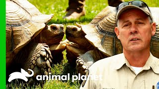 EUROPESE OMROEP | OPENN  | 100lb Tortoise Finds The Perfect Place To Live | Lone Star Law