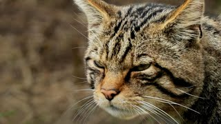 EUROPESE OMROEP | OPENN  | Rescuing the UK's Rarest Carnivore | Wild Rescue | BBC Earth