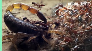 EUROPESE OMROEP | OPENN  | Killer Ant Swarm Butchers Lone Scorpion | Superswarm | BBC Earth