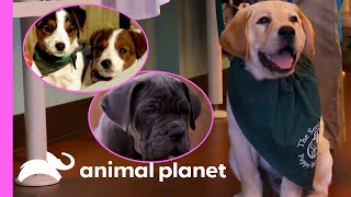 EUROPESE OMROEP | OPENN  | Adorable Puppies Get Ready For Their Future Careers | Too Cute!