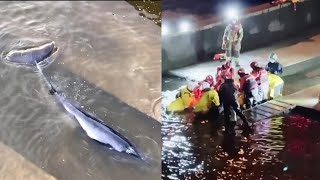 EUROPESE OMROEP | OPENN  | Crowd Gathers to See Whale Stuck in River Thames