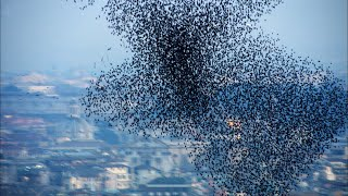 EUROPESE OMROEP | OPENN  | Ten Million Starlings Swarm (7 Tonnes of Bird Poo) | Superswarm | BBC Earth