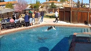 EUROPESE OMROEP OPENN Dog Amazes People By Running Over Pool