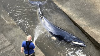 EUROPESE OMROEP | OPENN  | Minke Whale escapes after becoming stranded in River Thames Richmond lock