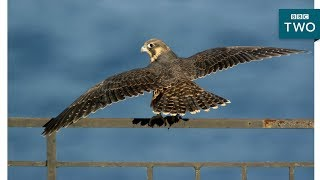 EUROPESE OMROEP | BBC | Baby Falcons Learn to Fly: Super Fast Falcon - BBC Two | 1524668981 2018-04-25T15:09:41+00:00