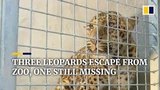 EUROPESE OMROEP | OPENN  | Three leopards escape from zoo in China, one still missing