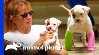 EUROPESE OMROEP | OPENN  | Adorable Rescue Puppy Relearns How to Walk | Pit Bulls & Parolees